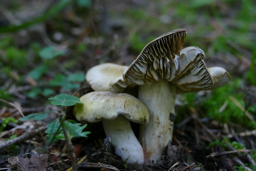 Tricholoma luridum (Schaeff.) P. Kumm. – gąska szerokoblaszkowa