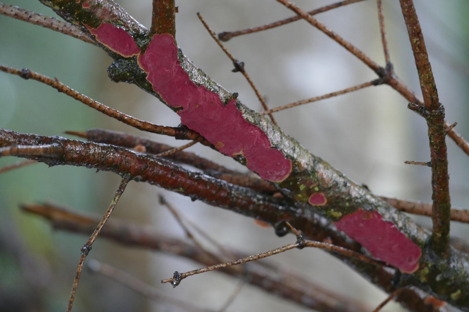 Szczecinkowiec jodłowy (Hymenochaete cruenta)